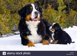 bernese mountain dog. adult and puppy bernese mountain dog portrait in winter