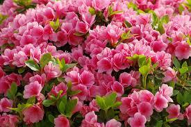 how to grow and care for azaleas