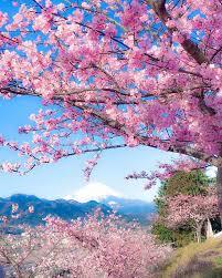 Bunga Sakura Melihat Keindahan Mekarnya Bunga Sakura Di Kota Kawazu