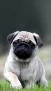 pug puppies ipad wallpaper. Perfect Puppies Cute Pug Puppy Adsbygoogle U003d Windowadsbygoogle  Push   Wallpapers Pinterest Pupu2026 On Puppies Ipad Wallpaper P
