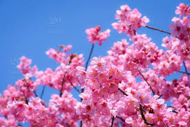 Cherry Blossom Background In Japan In Spring Hanami
