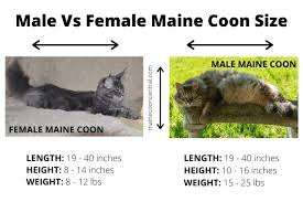 Why Are Maine Coon Cats So Big Maine Coon Central