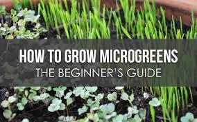 Microgreen Growing Chart How To Grow Microgreens The Beginners Guide