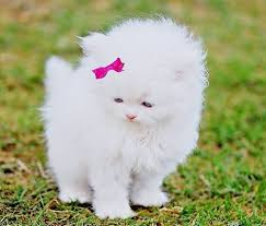 cute white fluffy kittens for sale. Beautiful White White Fluffy Kitten With A Bow U003c3 Ladies Donu0027t Start Fights But They Sure  Can Finish Them For Cute Fluffy Kittens Sale O