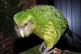 """Képtalálat a következőre: """"kakapó"""""""