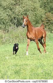 black arabian horse running. Unique Running Beautiful Arabian Horse Running With A Dog  Csp51878080 Throughout Black Arabian Horse Running C