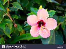 Light Pink Hibiscus Light Pink Hibiscus Flowers Stock Photos Light Pink
