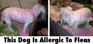 Treating Flea Allergies in Dogs Naturally - equinat-USA.com
