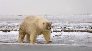 grolar bear size polar bears and grizzlies producing hybrid offspring as arctic melts
