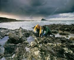 Drs Robert & Jan Knight collect coastal piddocks - Stock Image - H411/0063  - Science Photo Library