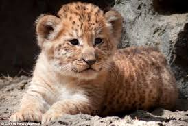 cute baby liger. Beautiful Liger Adorable Three Rare Liger Cubs Took Their First Steps In The Outside World  After Being Inside Cute Baby Liger