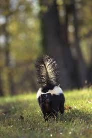 skunk removal cost. Wonderful Skunk Skunks Sightings Are On The Rise In Vernon Hills Prompting Village  Officials To Consider Resuming To Skunk Removal Cost I