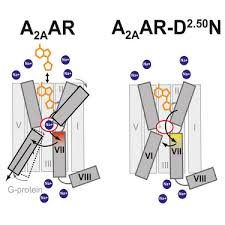 Gpcr Signaling Structural Connection Between Activation Microswitch And