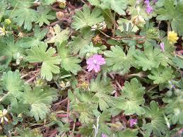 Geranium molle - Viquipèdia, l'enciclopèdia lliure