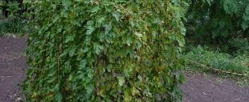 MULBERRY U2013 MORUS U2013 Southern LivingTeas Weeping Fruiting Mulberry Tree