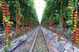 Resultado de imagen para cultivo del tomate en invernadero