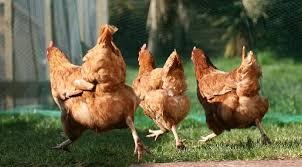 Billedresultat for running chickens