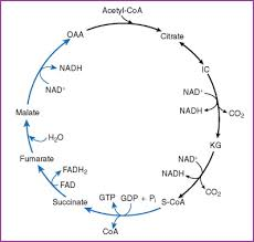 Citric Acid Cycle An Overview Sciencedirect Topics