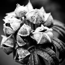 free images nature branch black and white structure plant leaf petal frost dark dry pattern garden flora hydrangea wild flower black white