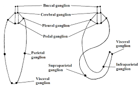 torsion gastropods. ganglia disposition in hypothethical untorted ancestral (left) and torted adult of gastropod. illustrated by gustavo zoppello toffoli, based on brusca torsion gastropods .