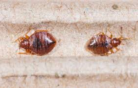 How To Kill Bed Bugs With Diatomaceous Earth \u0026 Other Home Remedies