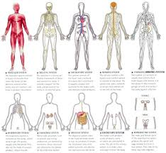 anatomy quiz organ systems body anatomy human anatomy quizzes trivia questions answers proprofs