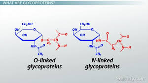 Classification Of Covering And Lining Membranes Complete The Following Chart What Are Glycoproteins Definition Functions Examples