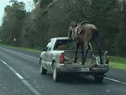 Driver who hauled horse in bed of pick-up truck could face charges ...