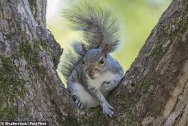 Grey Squirrel Age Chart Britons Should Eat Grey Squirrels To Keep Population Numbers