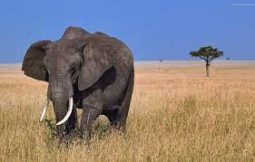 Wallpaper nature, animal, elephant ...