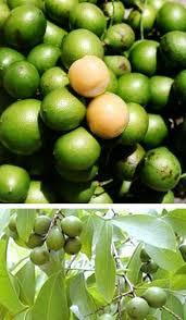 Jamaican Harmon Terminalia Catappa  Jamaican Style CookingJamaican Fruit Trees