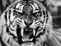 tiger roar tumblr. Delighful Tumblr Tiger Animal And Black White Image Intended Tiger Roar Tumblr