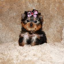 beautiful yorki pup in texas texas tiny yorkies