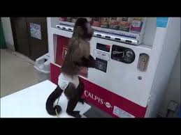 Monkey Vending Machine Magnificent Monkey Operating The Vending Machine And Collecting Drink In Japan