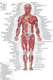 Free Diagrams Human Body Human Anatomy Is The Study Of