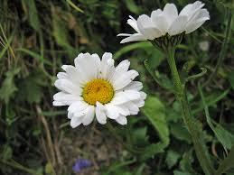 Specie di Leucanthemum - Wikipedia