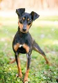 Porträt Eines Manchester Terrier Draußen Lizenzfreie Fotos, Bilder Und  Stock Fotografie. Image 94025377.