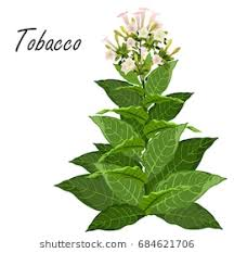 tobacco plant clipart. Brilliant Tobacco Tobacco Nicotiana Tabacum Hand Drawn Realistic Vector Illustration Of  Green Tobacco Plant With Throughout Plant Clipart Shutterstock