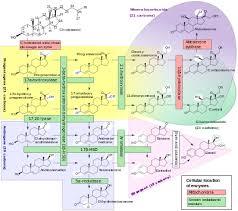Inborn Errors Of Steroid Metabolism Wikipedia