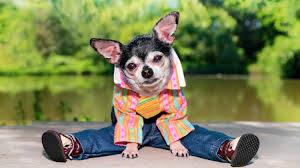feature chihuahua in clothes diy dog clothes and coats you should make