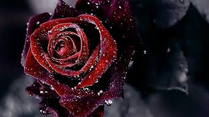 red rose hd wallpapers