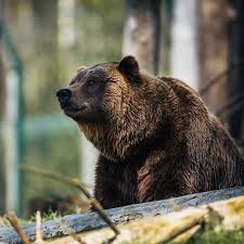 Grizzly Bear Classification Chart Who Owns The Wild Grizzlies Or Humans Outside Online