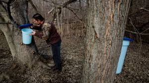 Maple trees yield sweet harvest of syrup in the spring