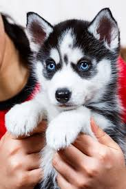 husky puppies for sale. Wonderful For Photo Of Women Holding Siberian Husky With Husky Puppies For Sale A