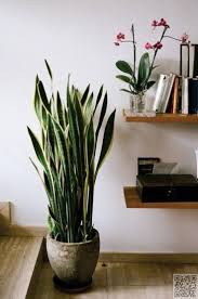 best house plants - Snake Plant - yes! I sooo agree! I started with one,  now have 6 and have killed everything mother in laws tongue