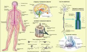 Нервная система и органы чувств Строение нервной системы