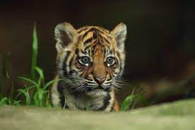 Cute Baby Tigers Wallpapers - Wallpaper ...