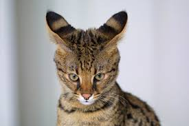 savannah cat chart savannah cat wikipedia