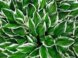 hosta plants tips on the care of hostas