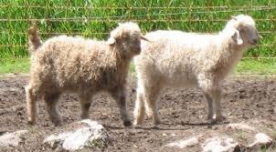 Produce Milk Fiber With Nigora Goats Wee Acres